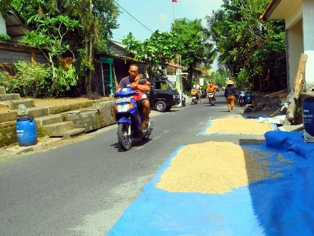 Raummangel in Ubud - Reis liegt zum Trocknen auf der Straße