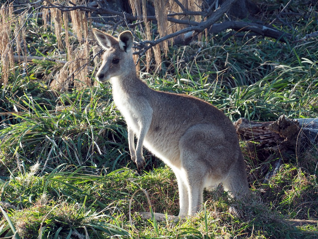 Wallaby auf North Stradebroke Island