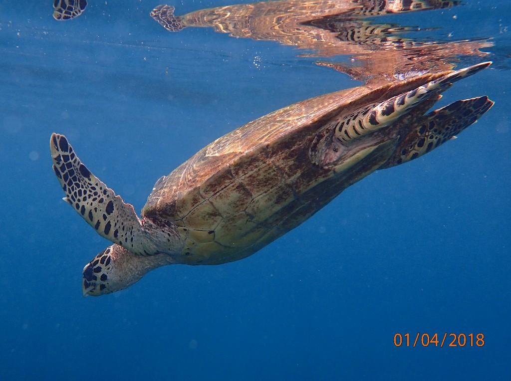 ... zahlreiche Schildkröten wie hier die Echte Karettschildkröte ...