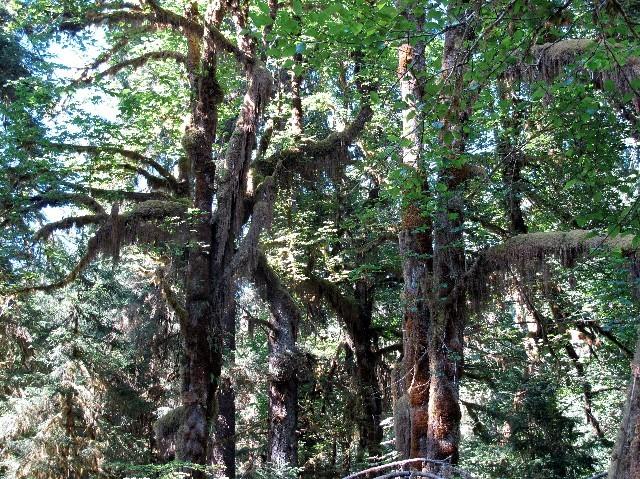 Dichte Baumkronen des pazifischen Regenwaldes