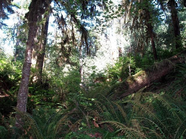 Undurchdringlich - Pazifischer Regenwald im Hohtal im Westen der Olympic Halbinsel
