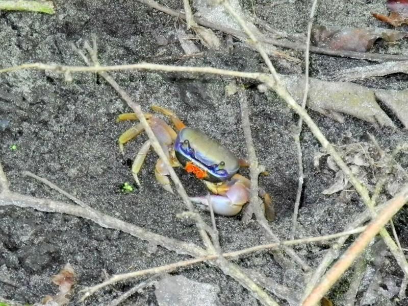 Bunte Sandkrabbe im Cahuita Nationalpark...
