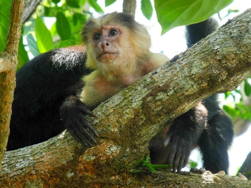 Kapuzineräffchen im Cahuita Nationalpark