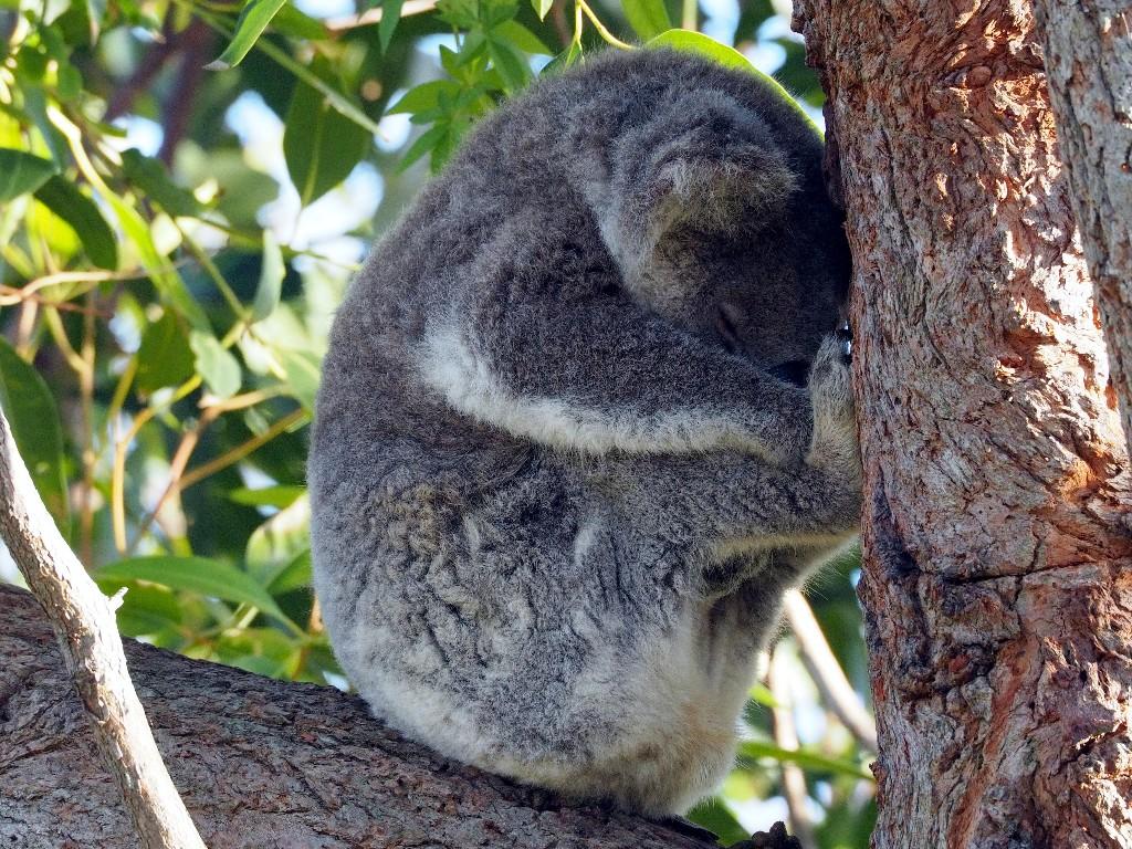 Bequem - schlafender Koala in freier Wildbahn