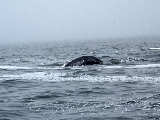 Lange gewartet - Rücken eines Grauwales