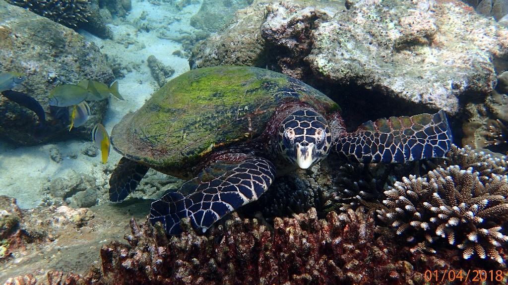 ... die mit ihren greifvogelartigen Maul gerne Schwämme von den Korallen frisst