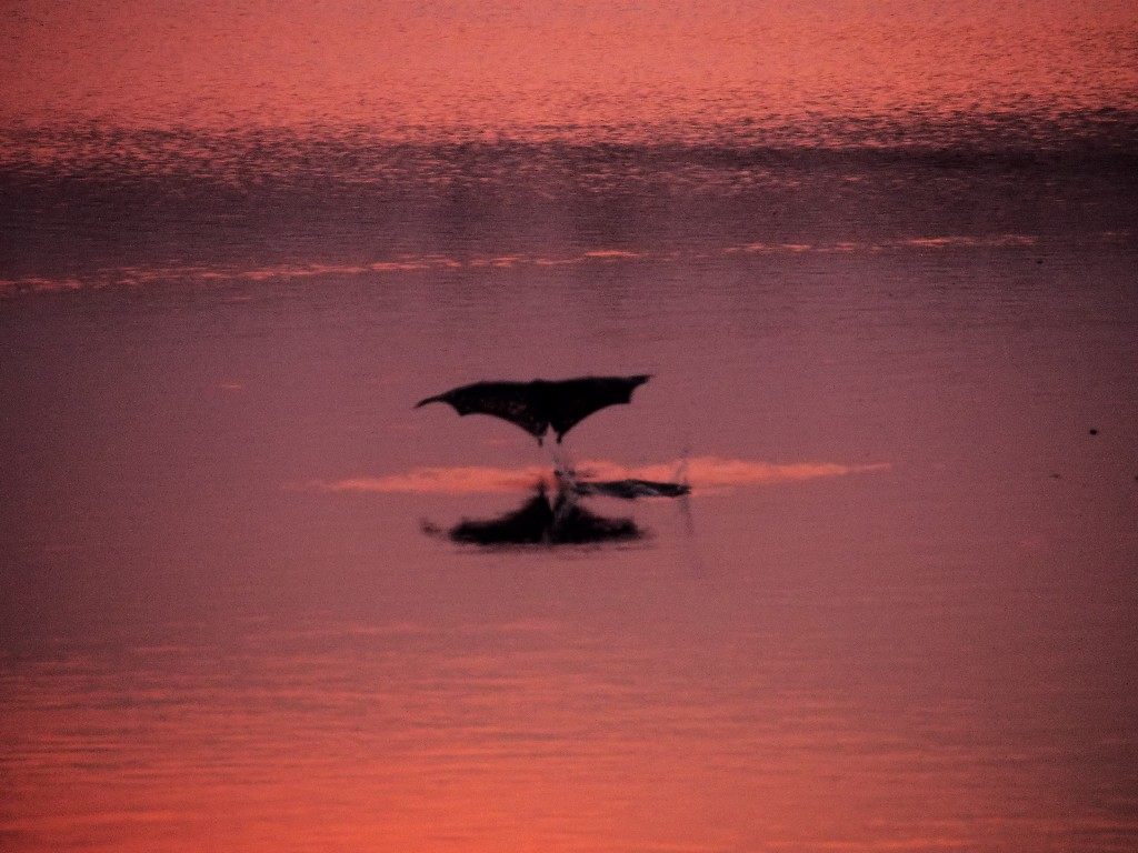...und startende indische Riesenflughunde, die sich mit Wasser im Abendrot versorgen