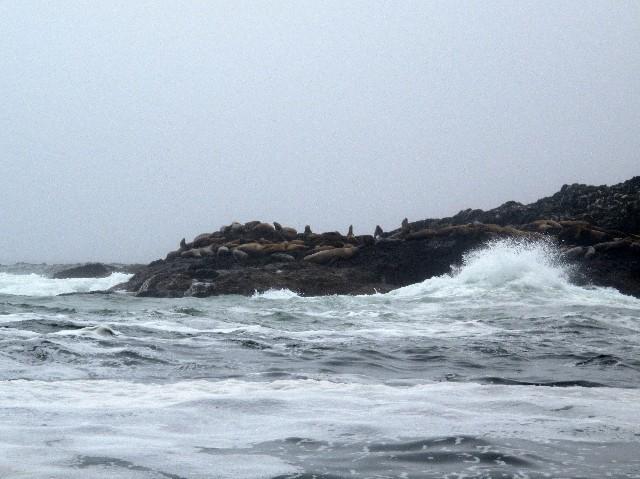 Gedrängt - Seelöwenkolonie vor Vancouver Island