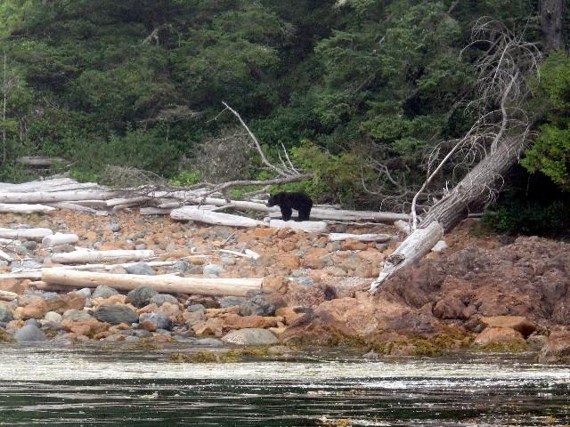 Auf Muschelsuche - Schwarzbär an der Küste bei Ucuelet