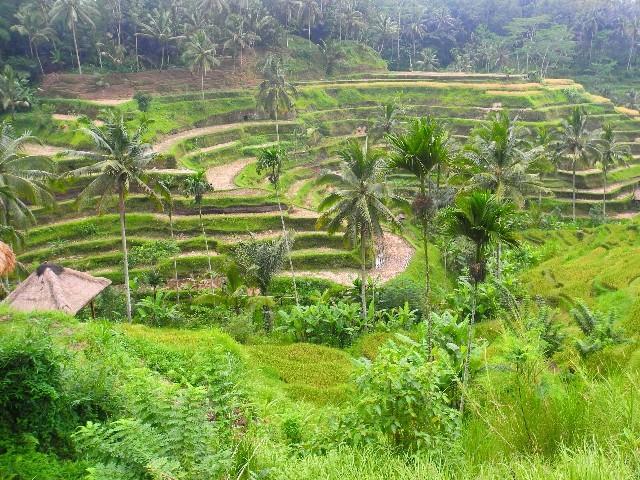 Für Touristen? - Reisterrassen bei Ubud