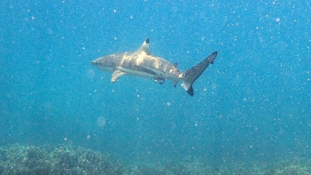 Elegante Schwimmer - Schwarzspitzenriffhaie ...