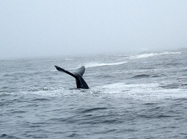 Schnell verschwunden - Schwanzflosse eines Grauwales