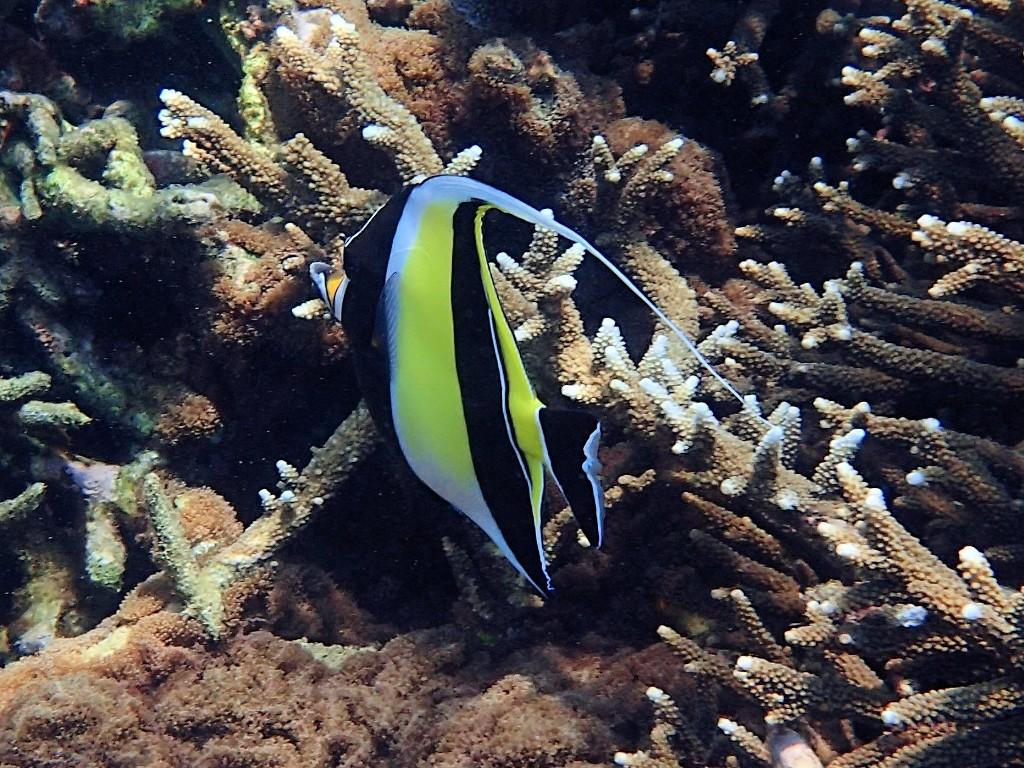 Bunt  - Halfterfische können bis zu 25 cm groß werden