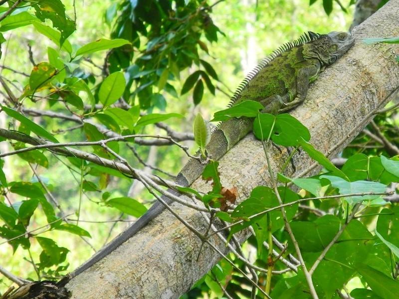 Im Cahuita Nationalpark sahen wir nicht nur Leguane,...