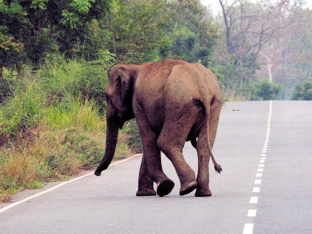 ... und im Morgengrauen laufen die ersten Elefanten über die Straße ...