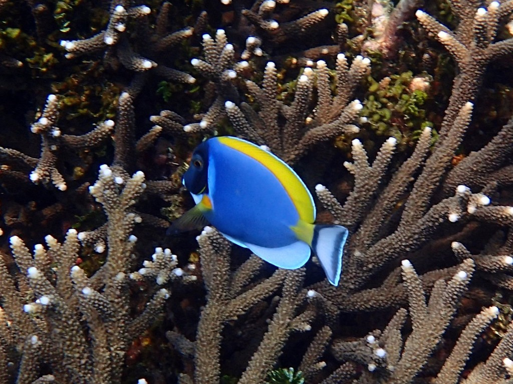 ... sowie bunte Fische wie dieser Weißkehl-Doktorfisch ...