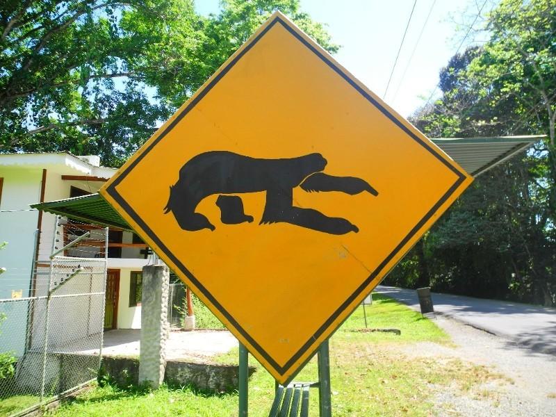 Achtung Autofahrer - Faultiere brauchen halbe Ewigkeiten für die Straßenüberquerung