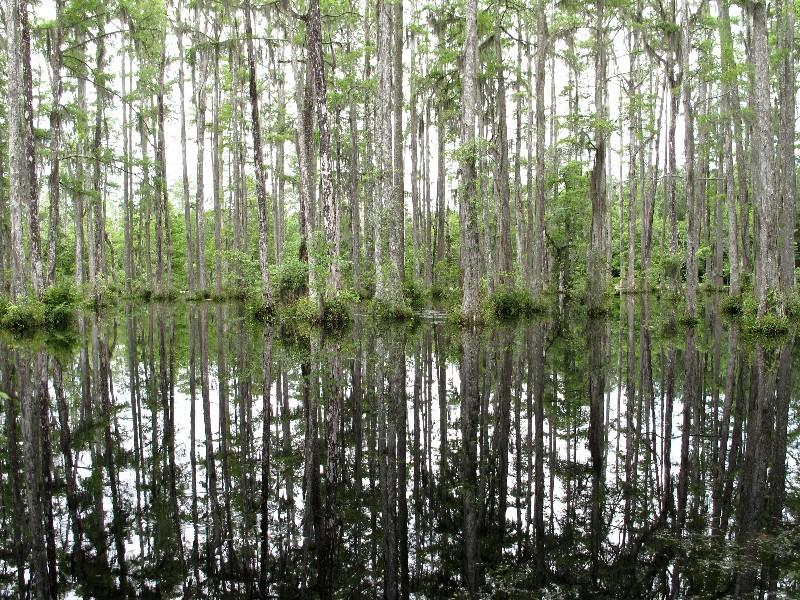 Sumpfig - Im Cypress Garden lauern Alligatoren