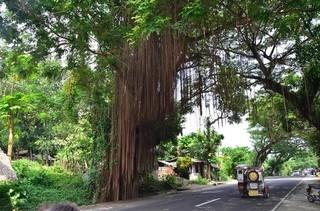 これはいかにも熱帯アジアって感じですね。気根が簾のように伸びてます。トラックやバスがバンバン通るのでそこでちょうど途切れてしまいます。