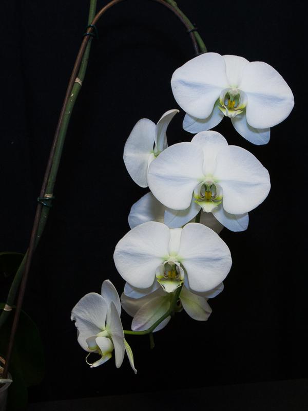 Phalaenopsis hybrid