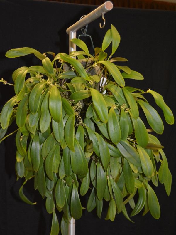 Pleurothallis densiflora