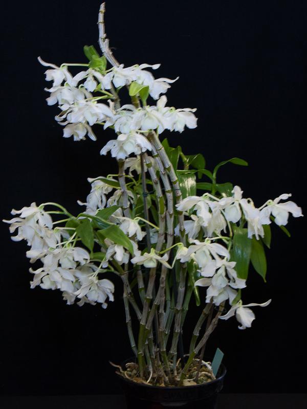 Dendrobium virginale