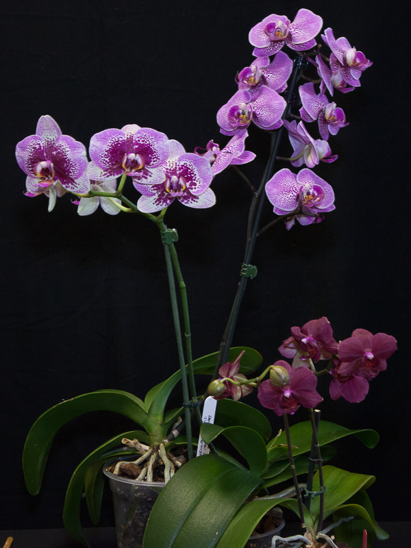 A group of three Phalaenopsis hybrids