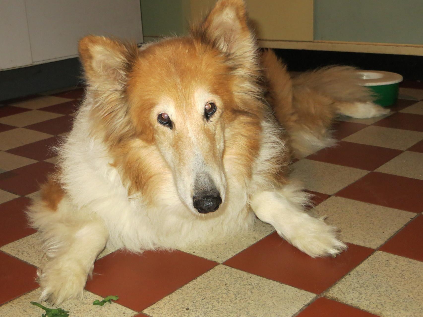 Anima (19.09.2014) - Treue liebevolle Collieseele aus Italien, die noch schöne 3 Jahre bei uns verbringen durfte!