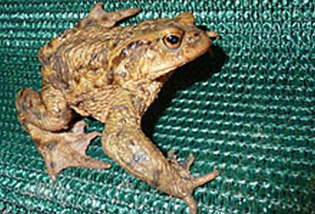 Erdkröte am Schutzzaun