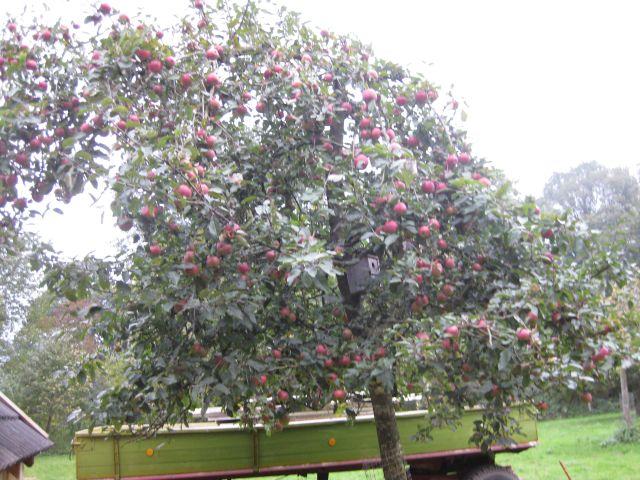 Ein gut gepflegter Apfelbaum trägt viele schöne Früchte