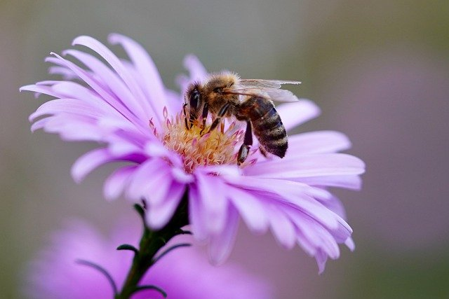 Besser als Pestizide Künstlich modifizierter Pilz rettet Bienen vor tödlichen Parasiten