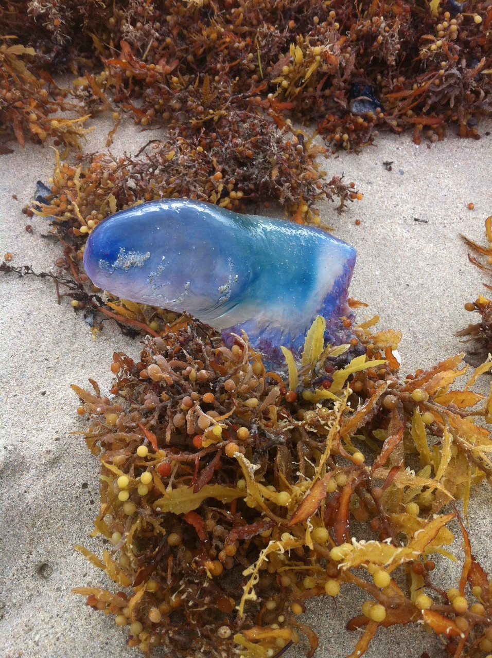 Méduse échouée sur la plage