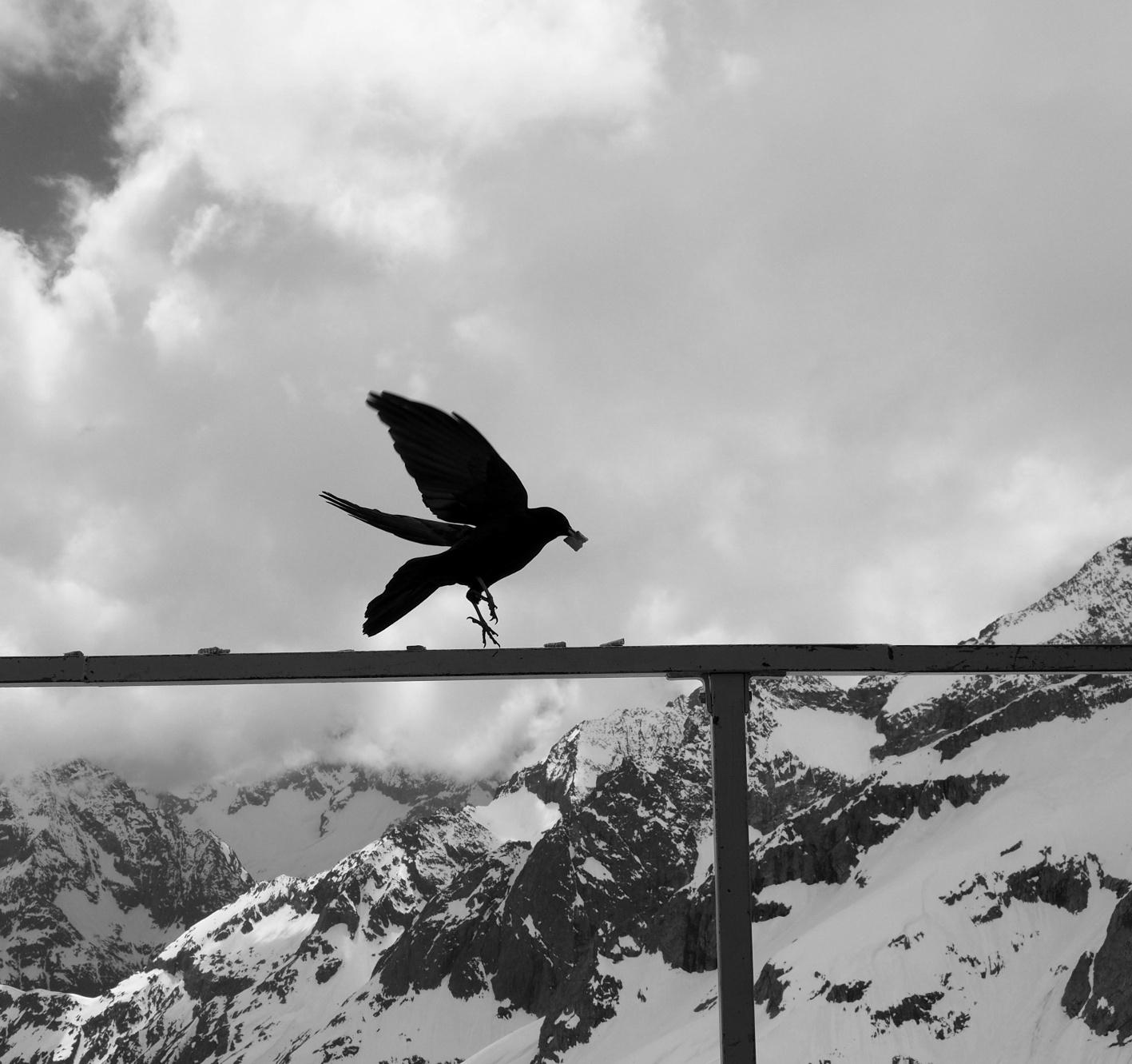 Et dans l'après midi les chocards viennent nous tenir compagnie sur la terrasse !