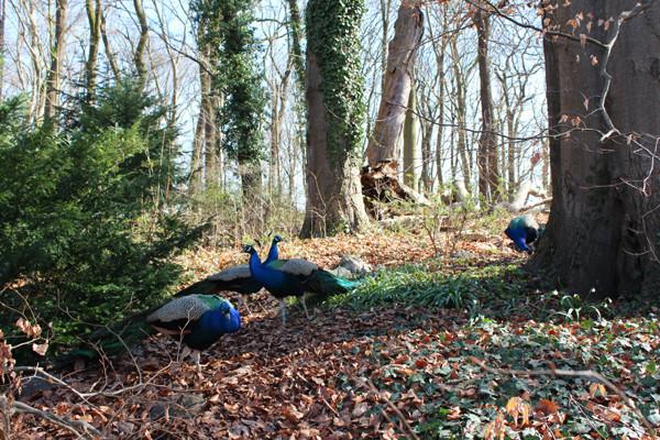 Vier Pfauen im April auf einer Waldlichtung, Weltkulturerbe Pfaueninsel in Berlin. Foto: Helga Karl