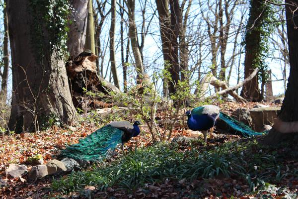 Zwei Pfauen im Wald. Pfaueninsel Berlin. Foto: Helga Karl