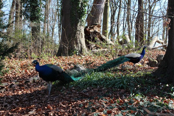 Zwei Pfauen im Wald Anfang April auf der Pfaueninsel. Foto: Helga Karl