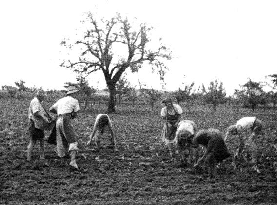 Ernte auf dem Feld (um 1948)