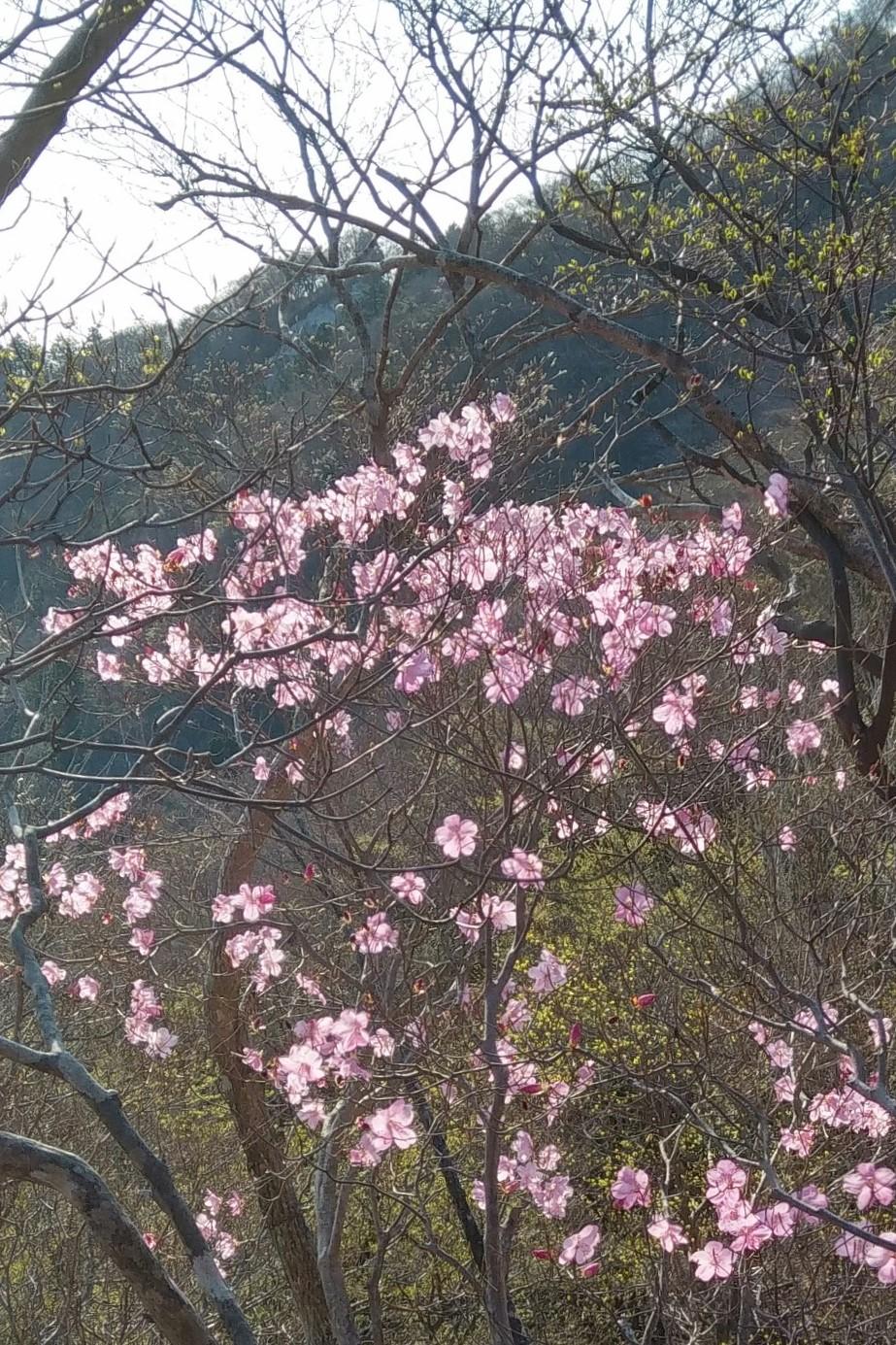第4回:咲き始めたアカヤシオ