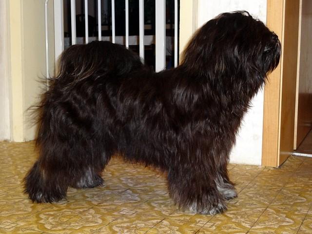 Tibet-Terrier Yeshi nach dem Baden im Dezember 2014