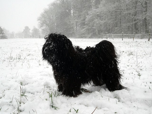 Tibet-Terrier Yeshi im Schnee im Dezember 2014