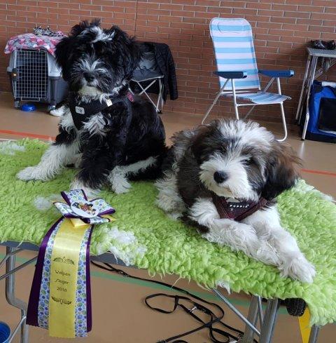Puppyklasse März: Yaro und Han-na gewinnen jeweils bei den Rüden und den Hündinnen mit vv1!