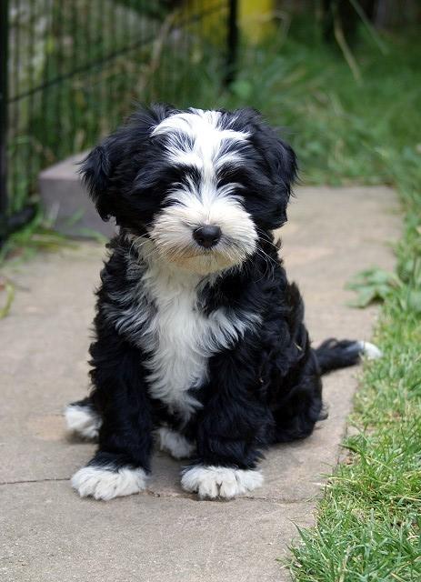 G-Wurf - Mihu - 10 Wochen alt