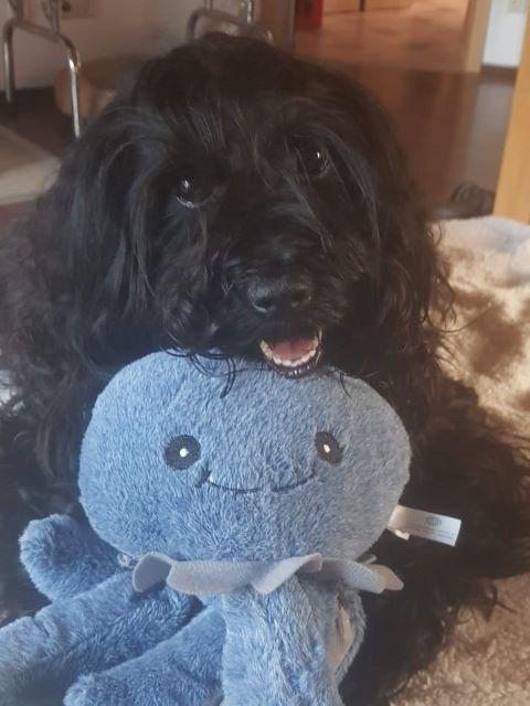 Santi (H-Wurf 2017) hatte Wochenendbesuch von Mihu und bekam zum Dank den Kraken