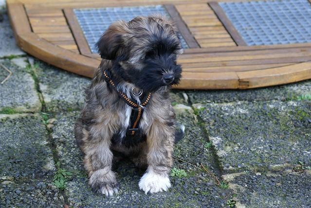 Femi - 11 Wochen alt - in der Hundeschule