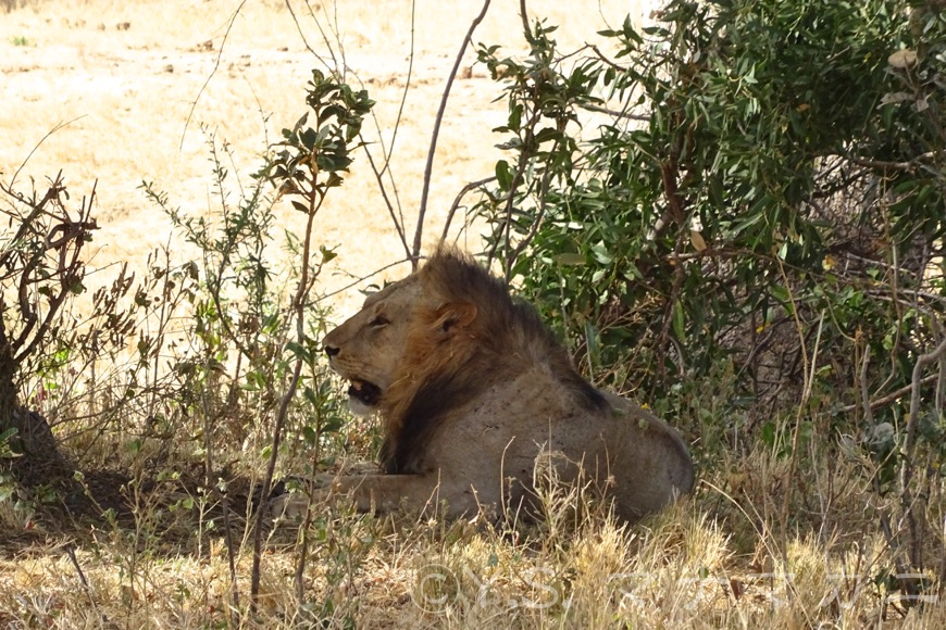 若そうなオスのライオン達が木陰で呆けていた。  (Tsavo West NP)