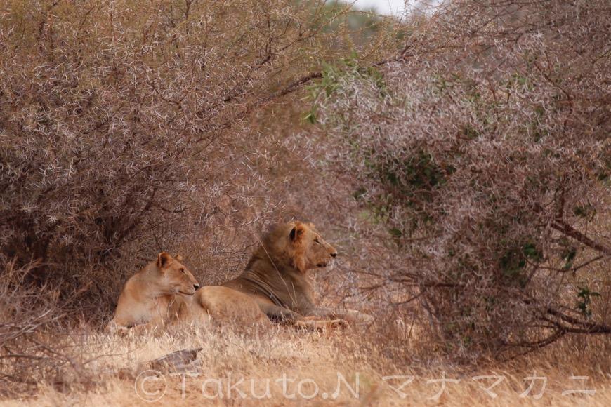 ライオンにはハネムーンがあるそうだ。穏やかに寄り添っていたカップル。  (Tsavo East NP)