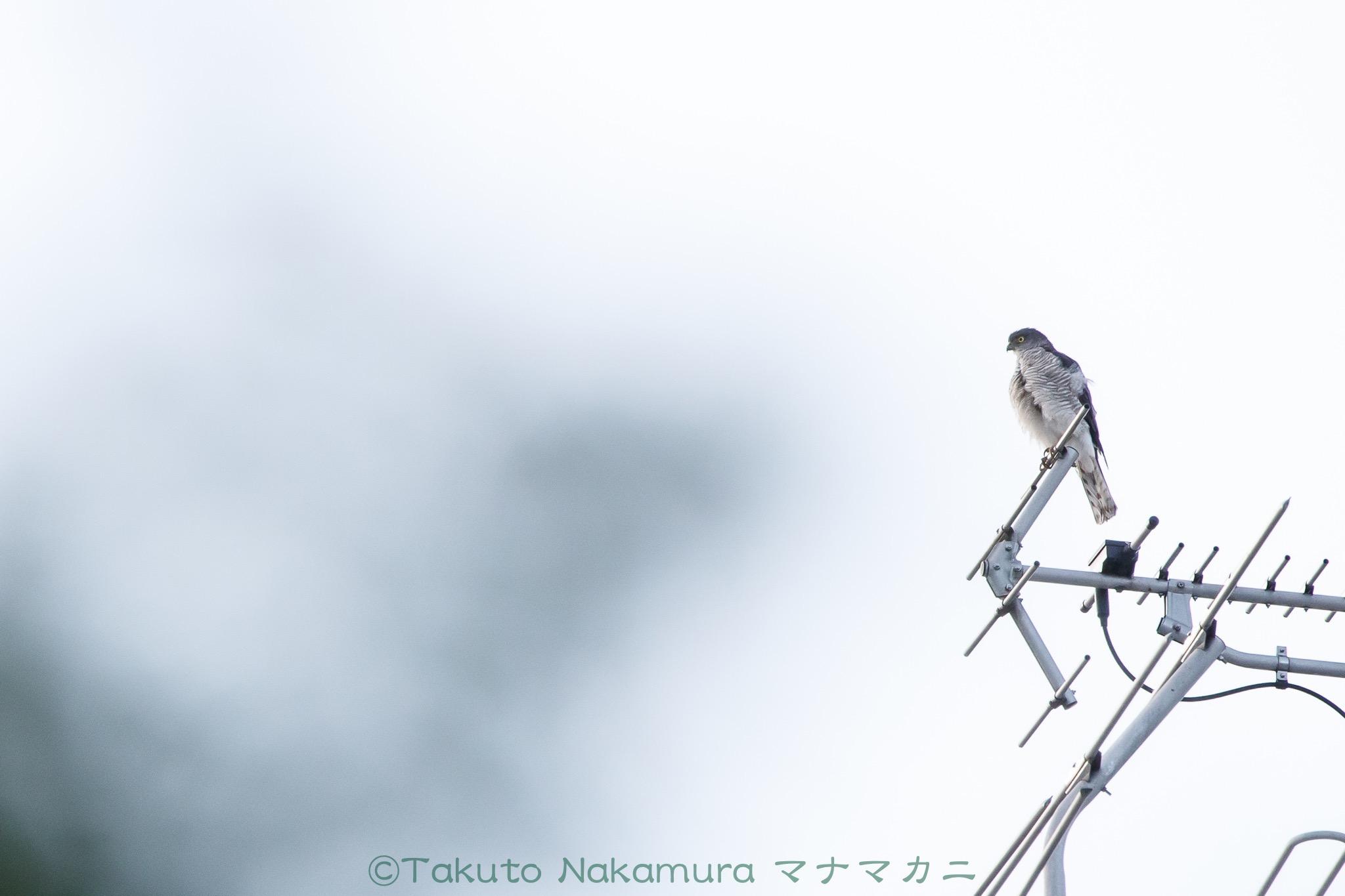 アンテナから巣を見張るツミ母さん。 ※クリックすると関連Blog記事が表示されます。2020年6月足立区