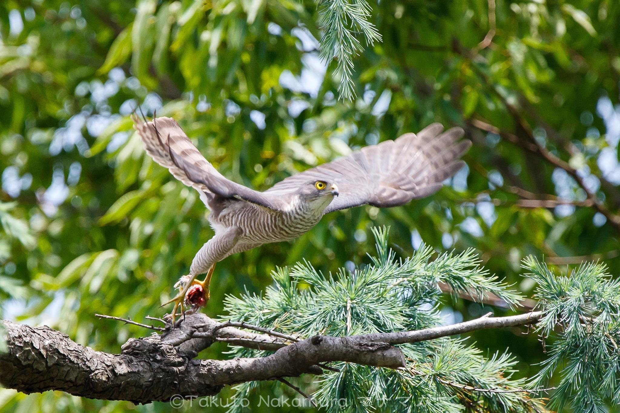 オスから受け取った獲物を巣に運ぶメス。 ※クリックするとBlog記事が表示されます。 2020年6月足立区
