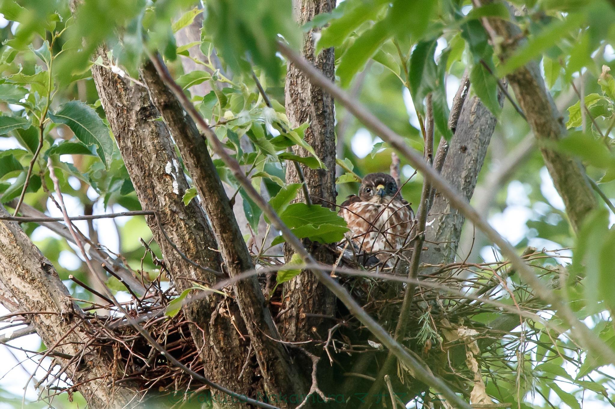 2羽、巣にもどっていた。疲れ切ったように見える。 ※クリックすると関連Blog記事が表示されます。2020年6月足立区
