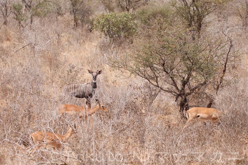 雄は単独でいることが多いようだ。目の前にいるのはインパラの群れ。 (Tsavo West NP)